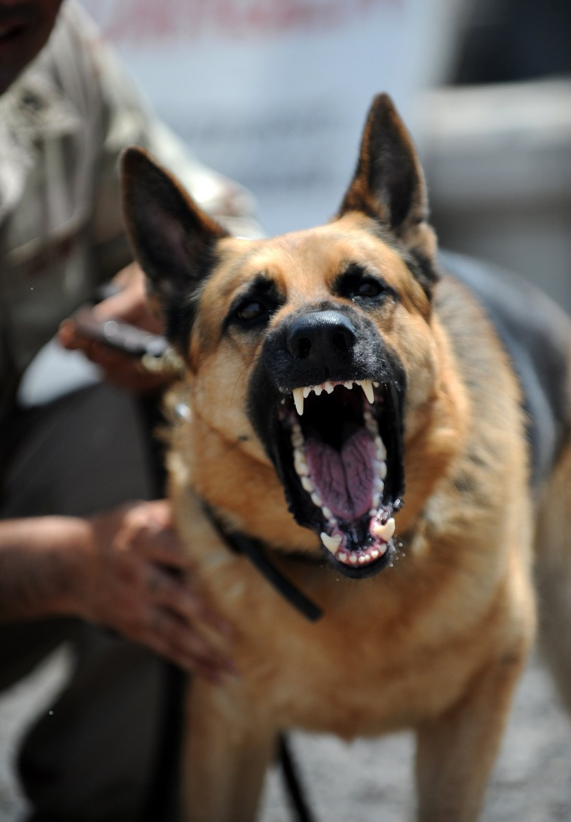 The West German Shepherd Dog Pethelpful By Fellow Animal Lovers And Experts