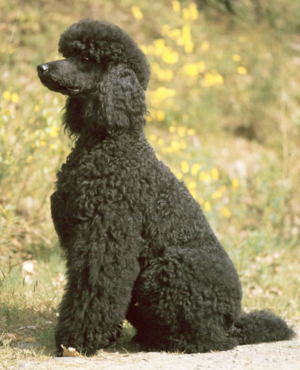 The beautiful Poodle.