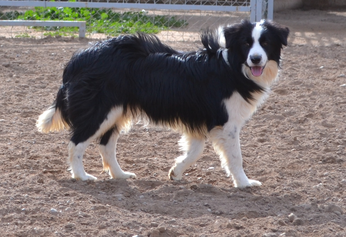 The amazing Border Collie; the smartest breed of dog in the world.