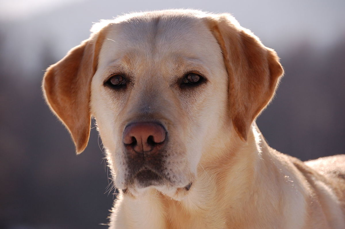"The Labrador Retriever, also known affectionately as the ""Lab."""
