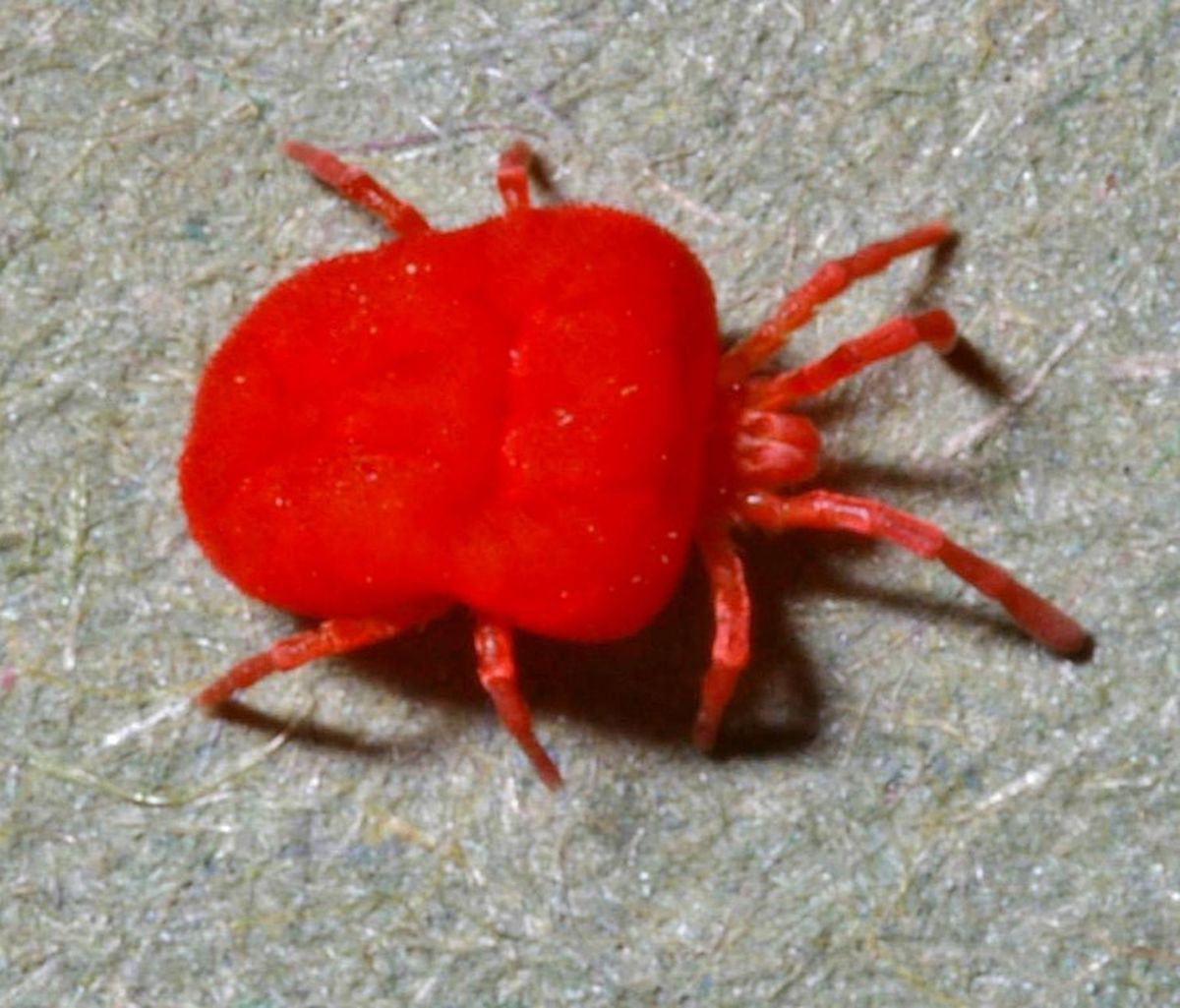 Harvest Mites, also known as Chiggers, have been blamed for SCI