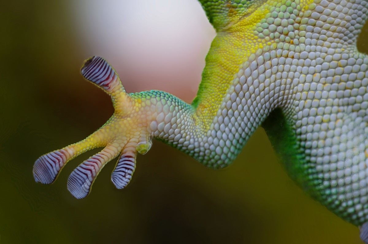 The lizards use millions of microscopic hairs on their feet to scale walls and ceilings.