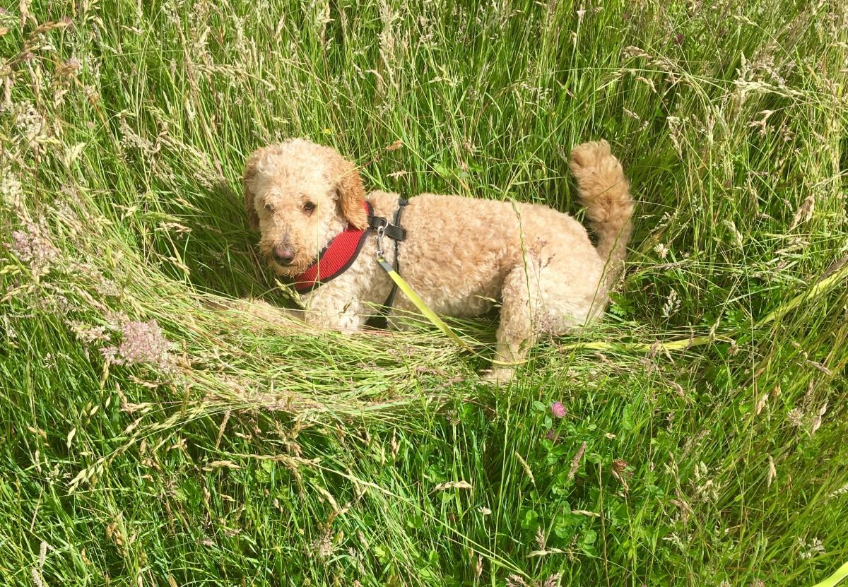 summer-and-autumn-dog-walks-heatstroke-and-grass-seed