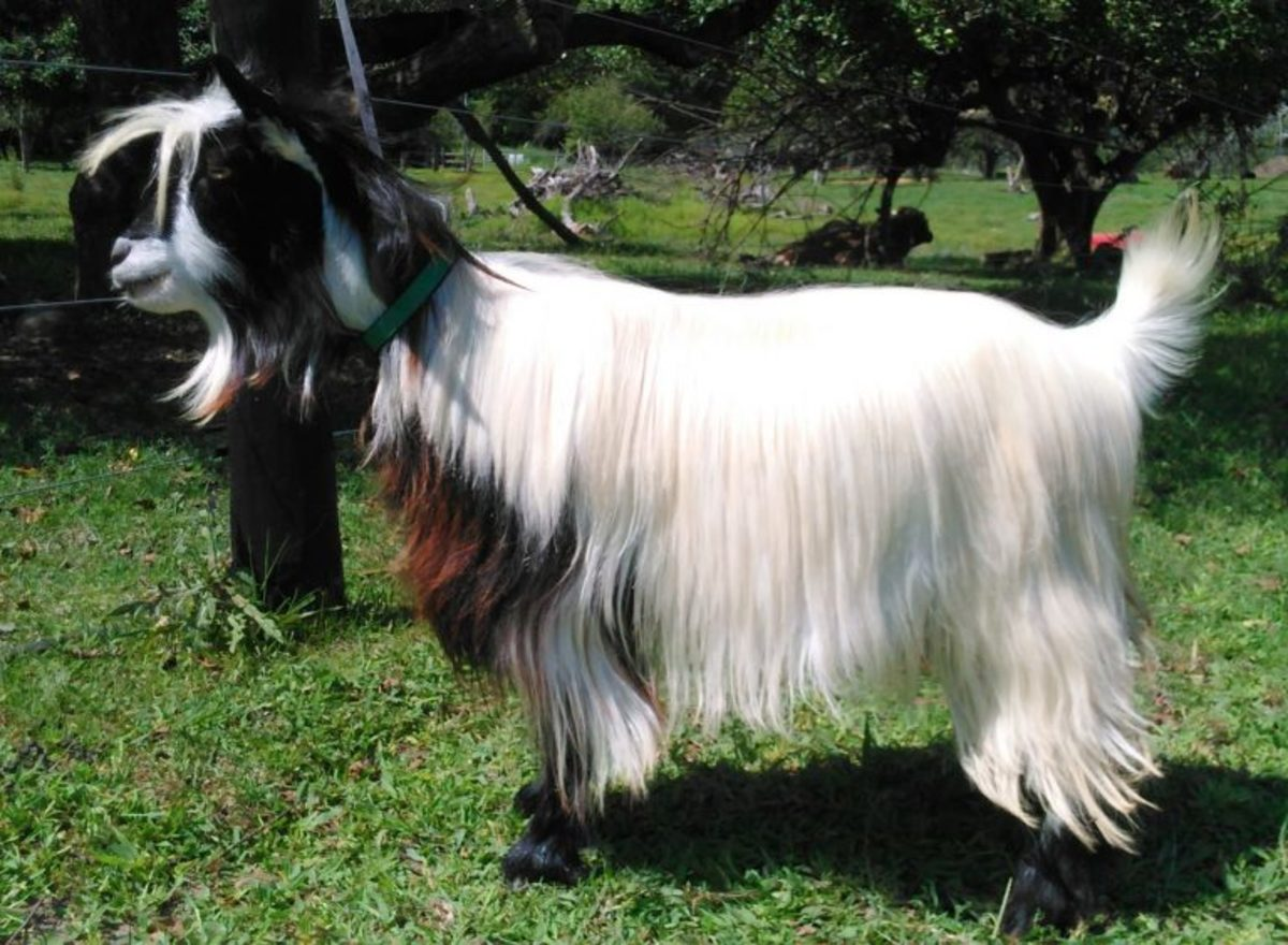 Mini fainting silky goat. This handsome is be a fancy breed. You may need to have a little experience with goats if you want to pet this breed.