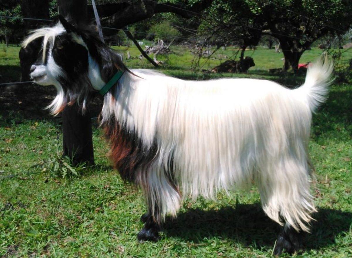 Mini Fainting Silky Goat