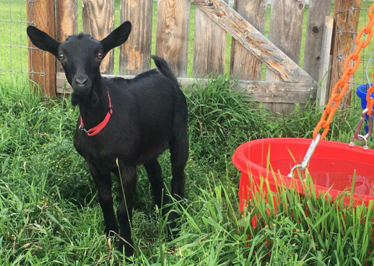 Mini alpine doe in the picture. Alpine makes the perfect pet goat for a first-time milker.