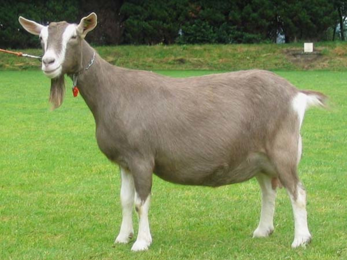 Toggenburg breed goats have a strong exterior.