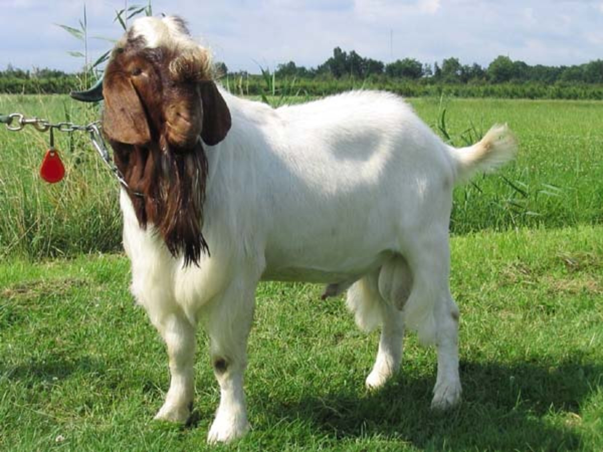 This handsome is a Boer buck.