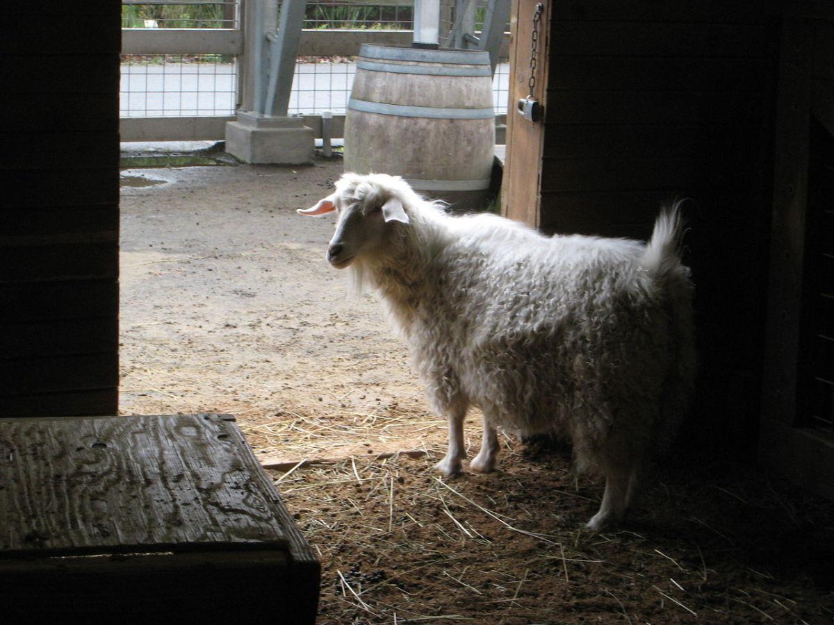 15-best-pet-goat-breeds-for-pets
