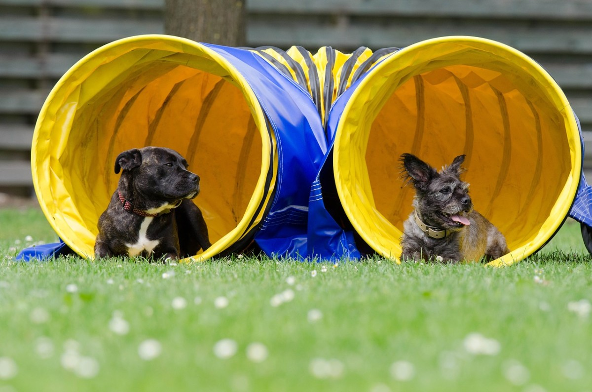 Modern agility equipment is often colored yellow and blue, colors which dogs see well.
