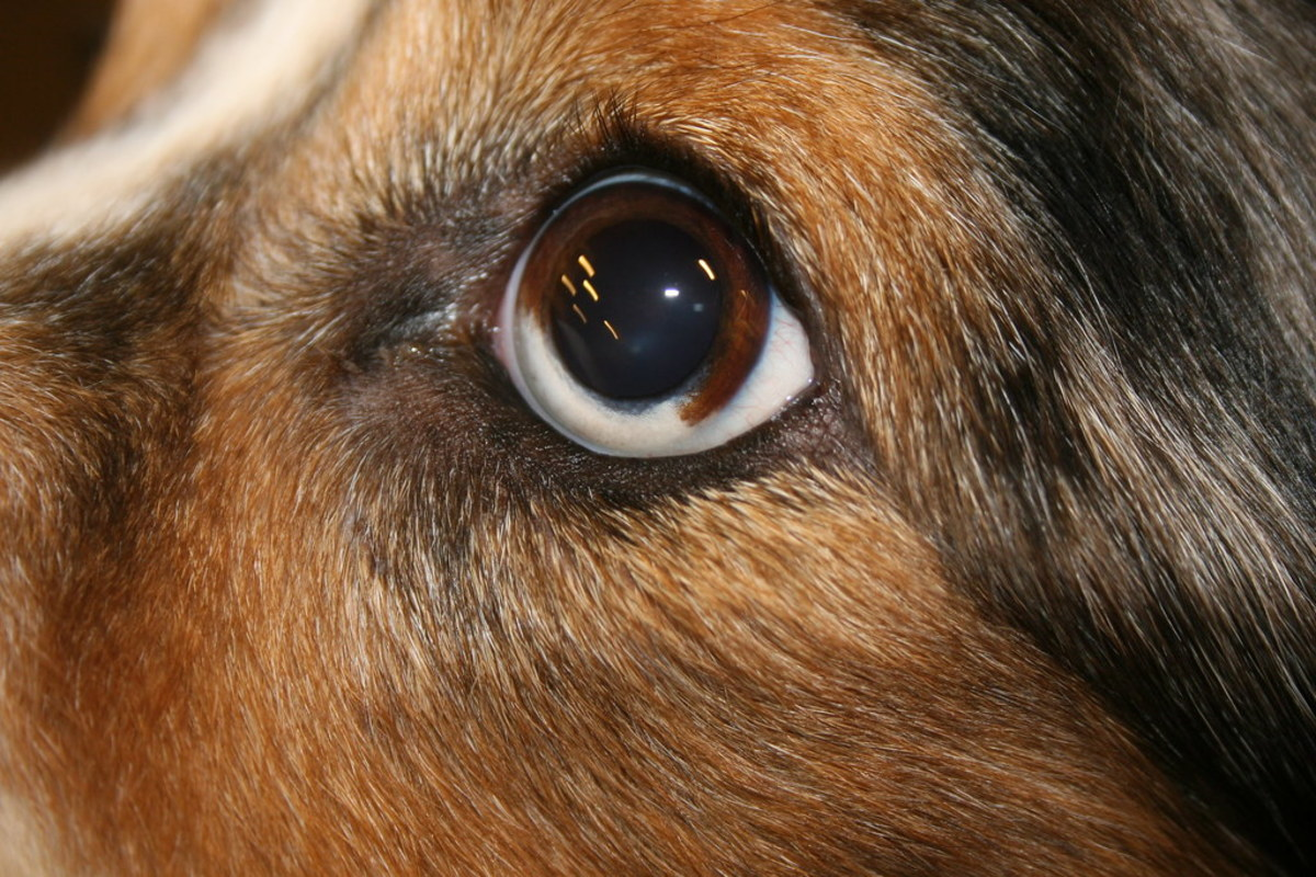 Noticeable eye defect in a merle Australian Shepherd
