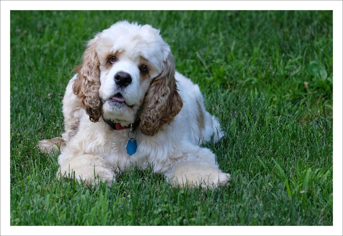 The American Cocker Spaniel is not recognised by the KC as coming in the merle pattern, but is recognised by the AKC.