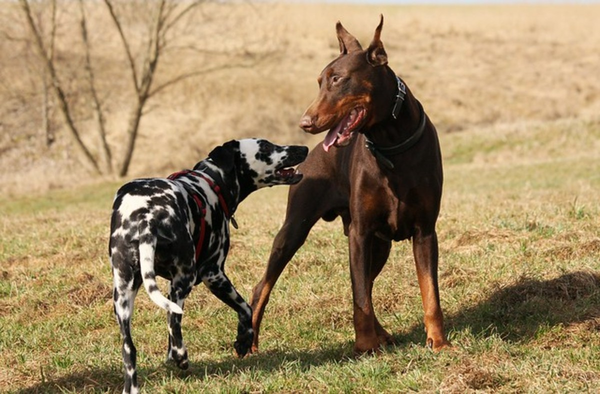 Dobermans are a great choice for a large dog but this breed can sometimes be dog-aggressive.