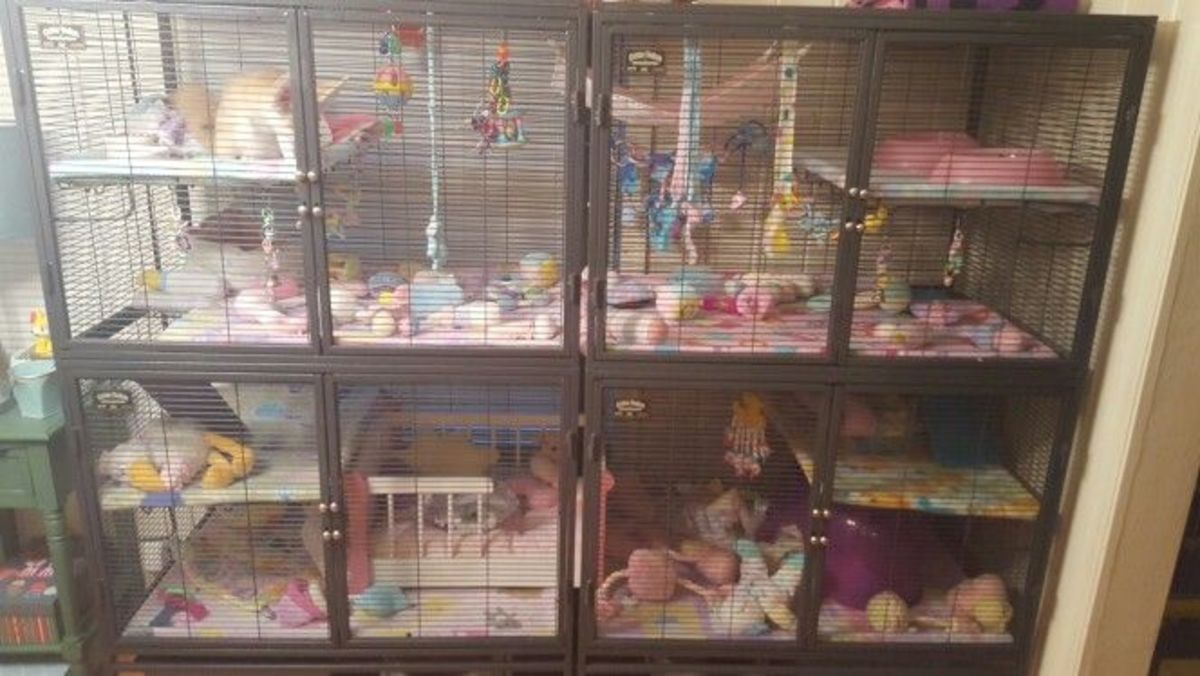An example of an indoor cage utilizing 2 Ferret Nations.