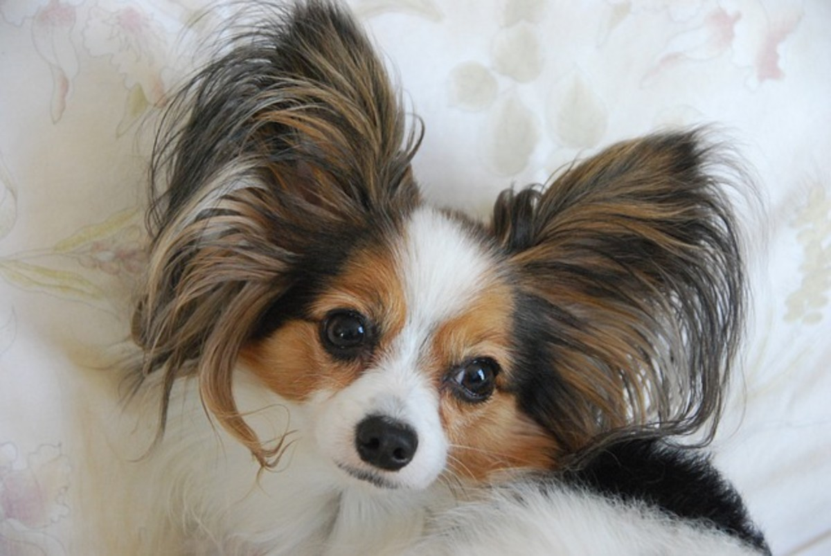 "Dogs are equipped with a variety of ear shapes. This papillon is known for having ""butterfly ears."""