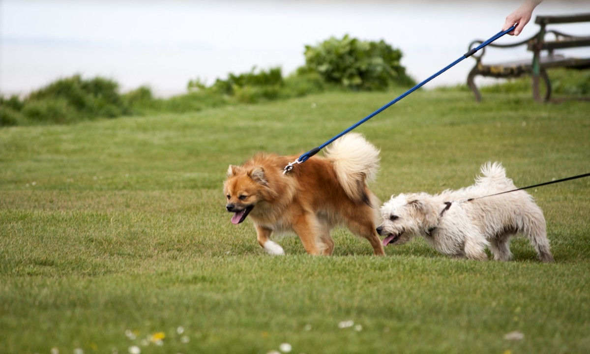Reverse sneezing can occur when a dog pulls on a lead