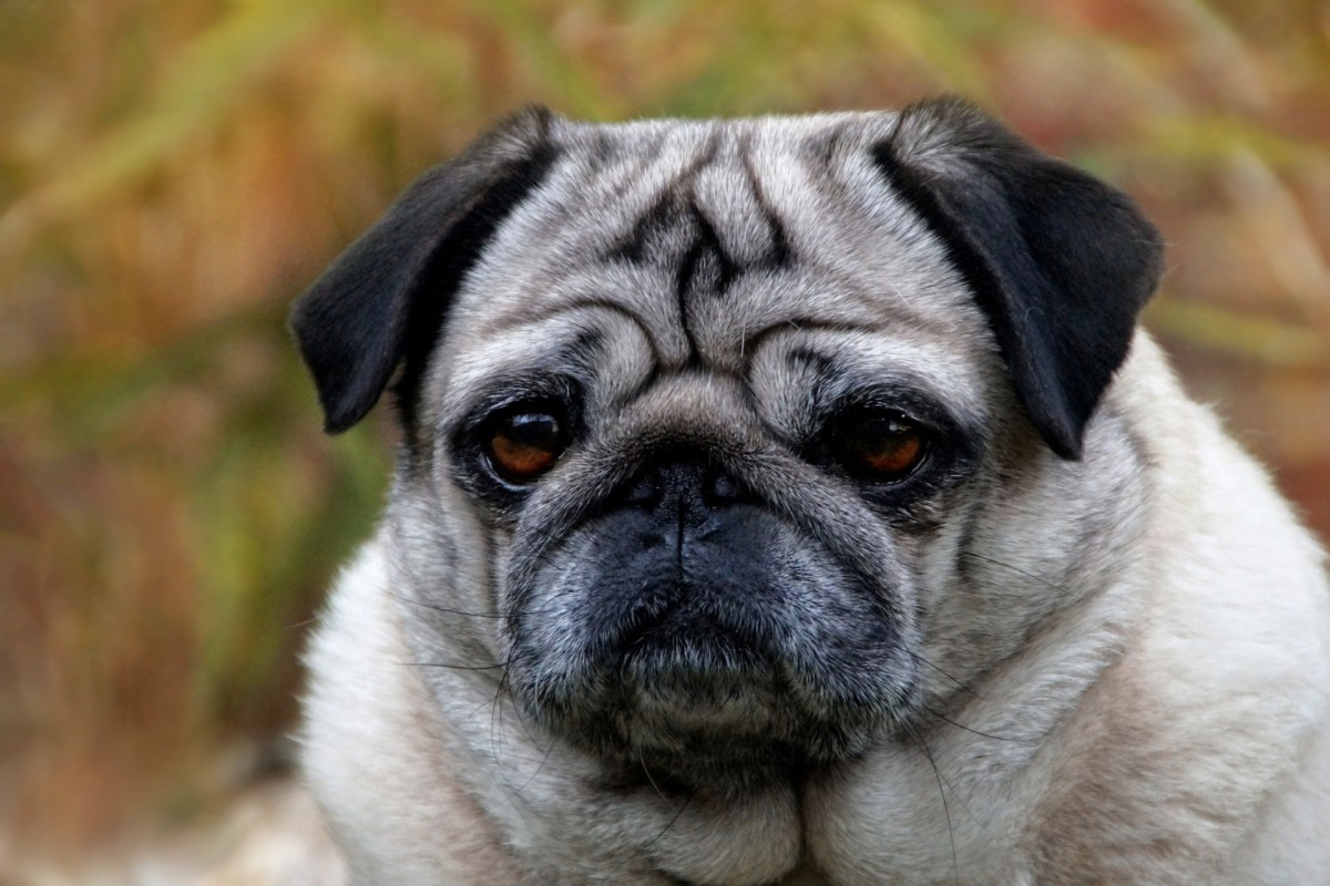 Breeds with very short noses are more prone to reverse sneezing
