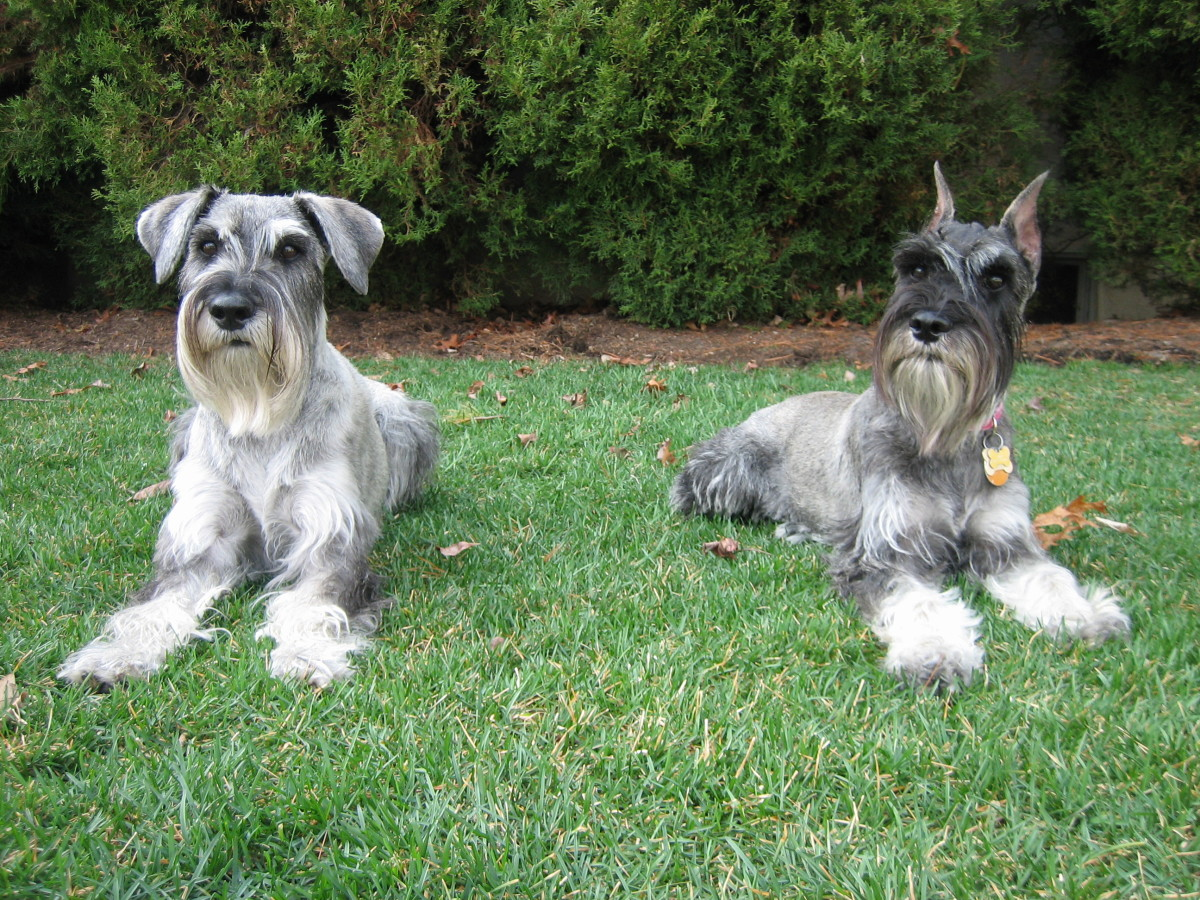 Standard Schnauzers are alert guard dogs but do not have the strength of the Giant Schnauzer.