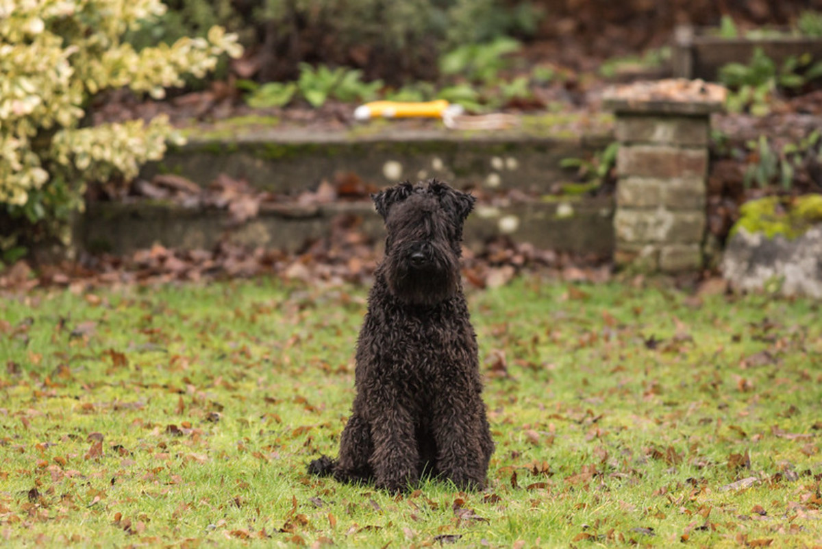 Kerry Blue Terriers were bred to be alert.