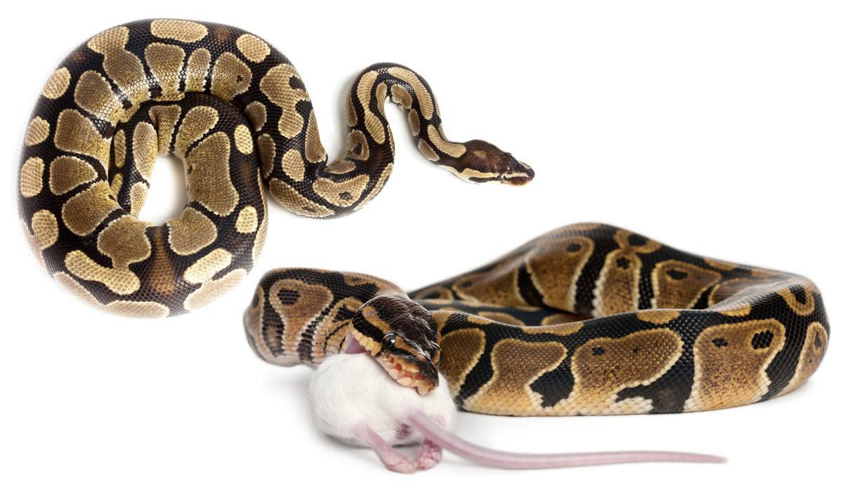 ball-python-care-guide