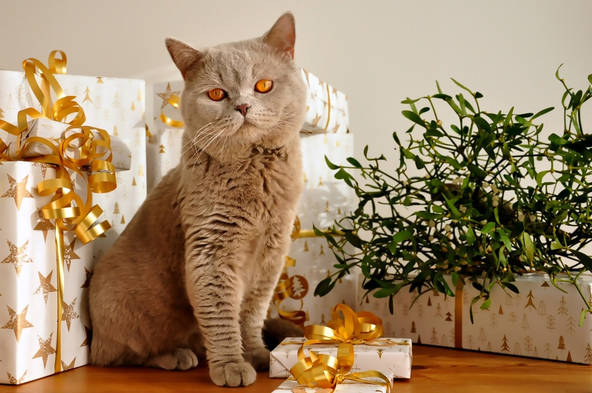 Pretty presents attract cats. All is calm at the moment, but those curly ribbons are sure fun for a cat to play with.