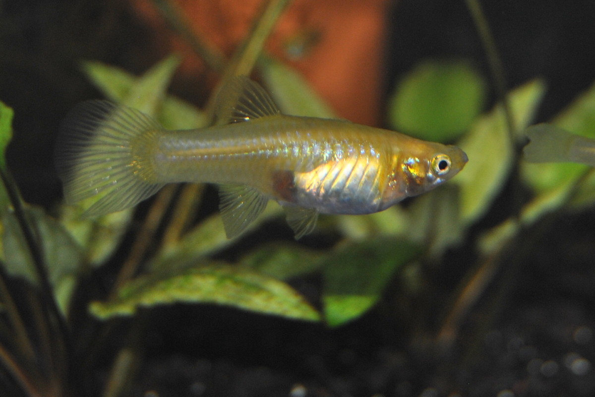 Pregnant gold (blond) guppy showing gravid spot.  The gravid spot is darker on a normal colored guppy.
