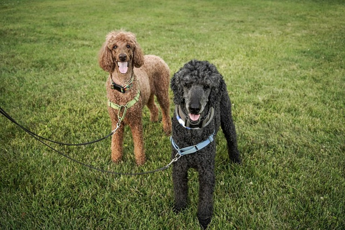 These two standard poodles are sporting a front-attachment harness.