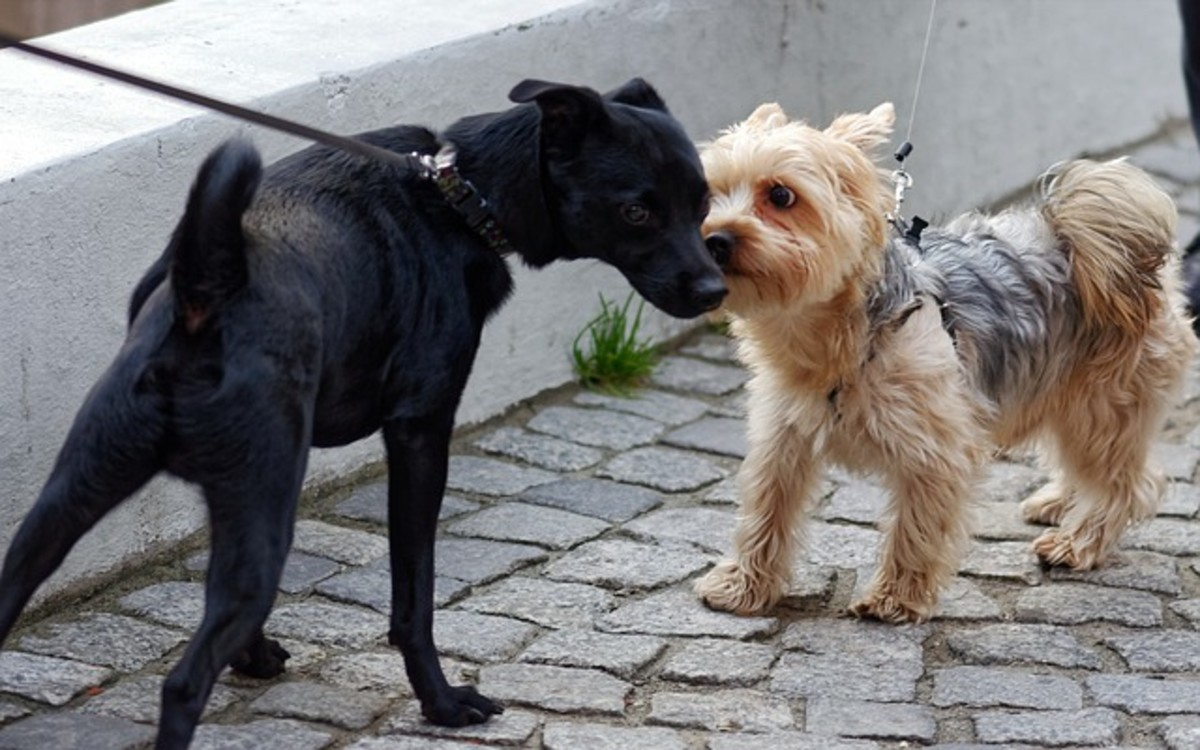 These dogs are meeting face-to-face with tense leashes. Notice their tense body posture.
