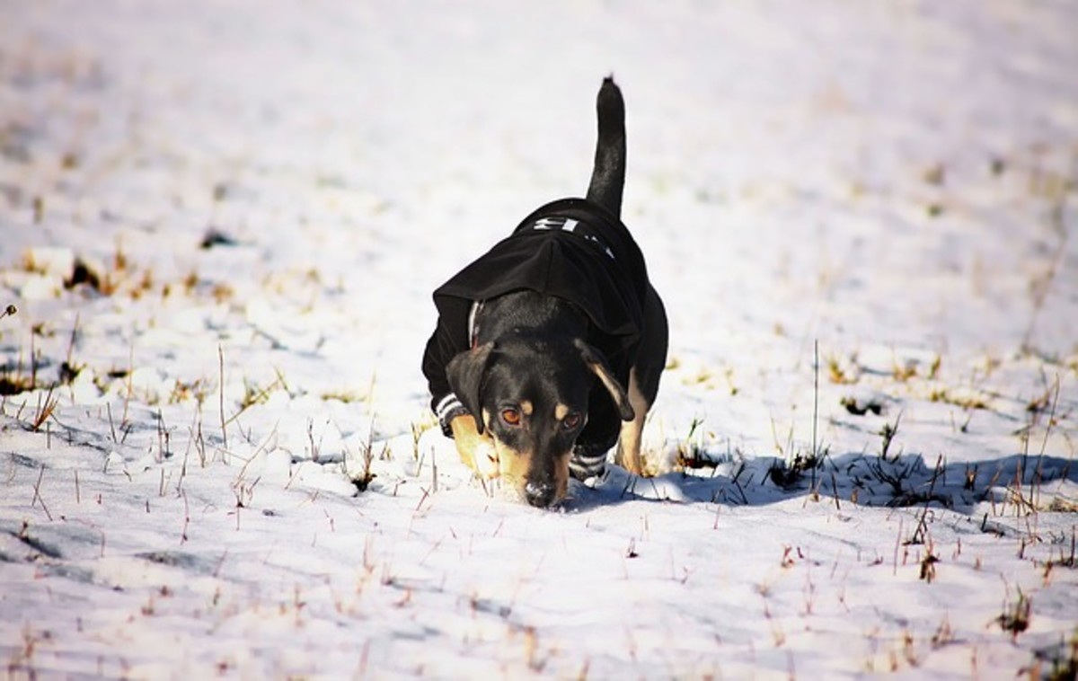 Get your dog used to snow before it becomes a constant presence.