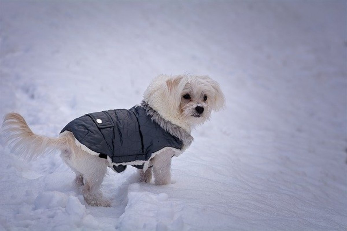 With a weather-proof jacket on, this dog feels less chilly.