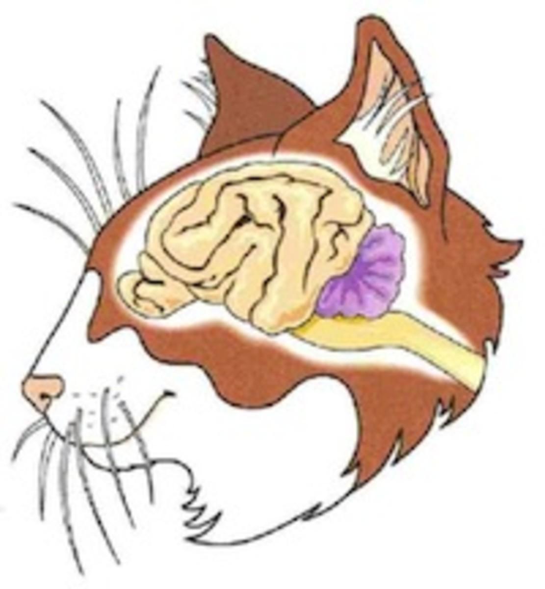 A cat's brain
