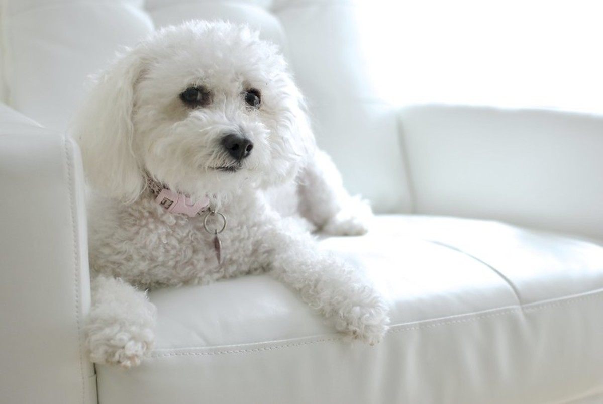Bichon do not shed and can be taught early to be clean around the house.