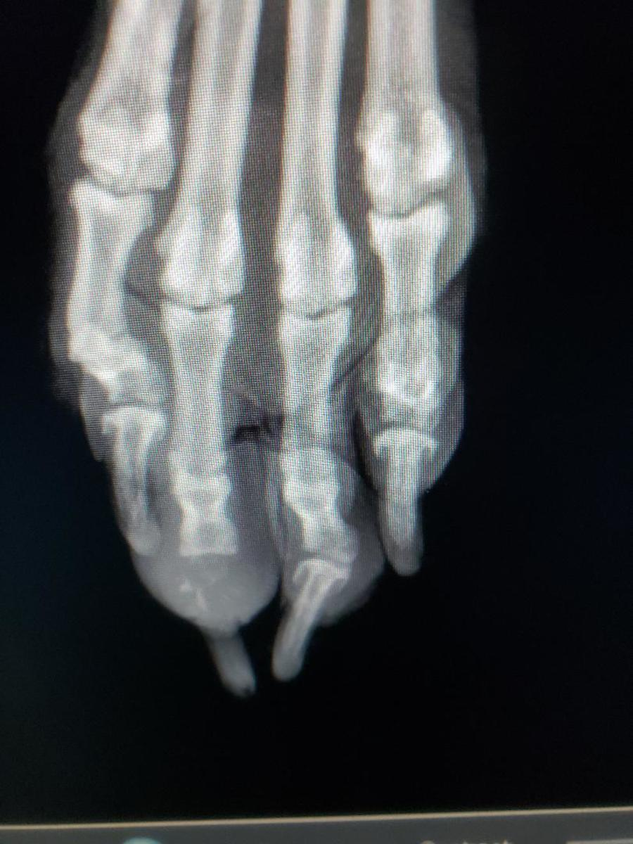 X-ray of Marley's Paw