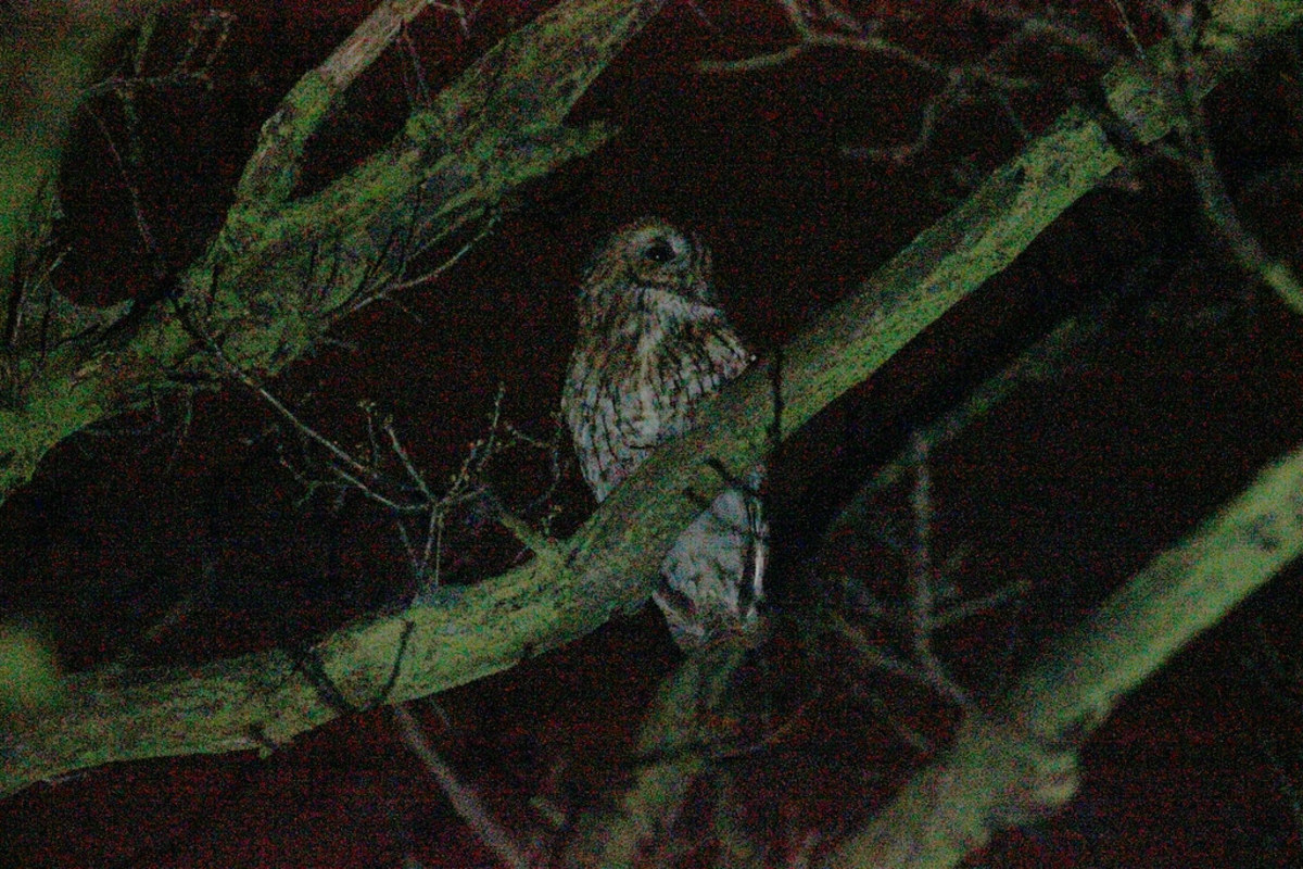pet-owls-good-pets-legal