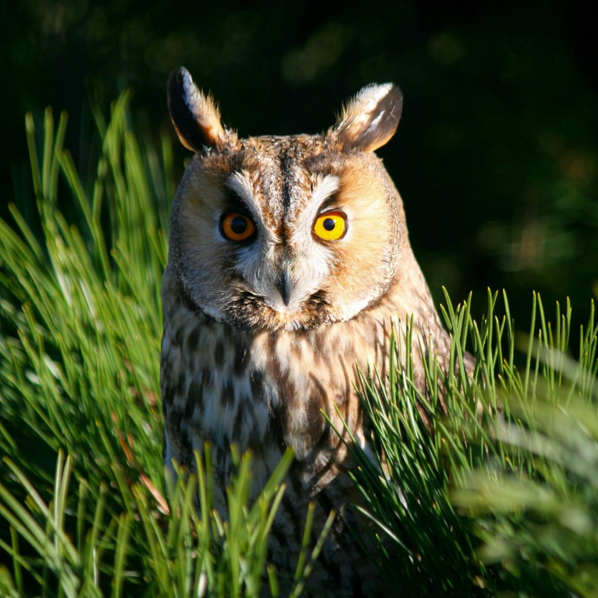 A long-eared owl.