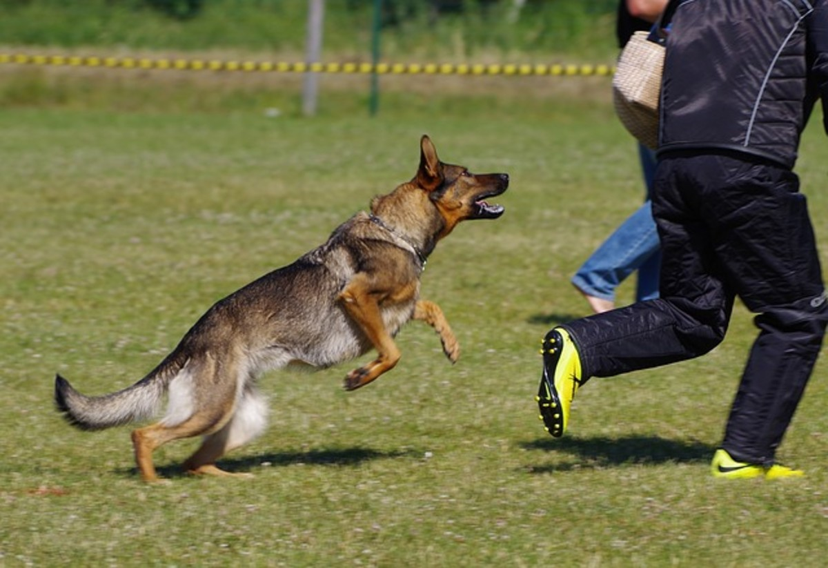 "In the sport of Schutzhund, running away motivates and builds drive so the dog is more stimulated to ""attack."""