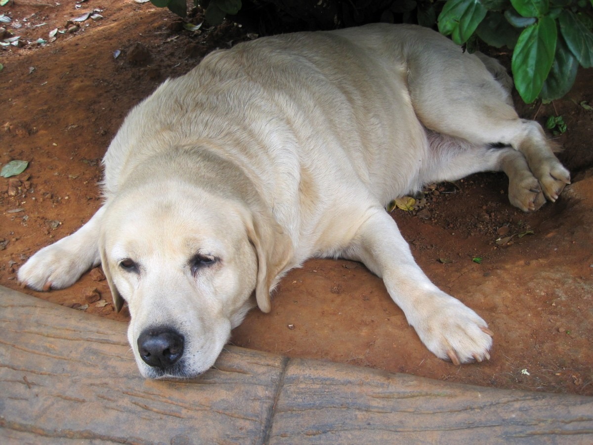 Older dogs are more prone to putting on weight