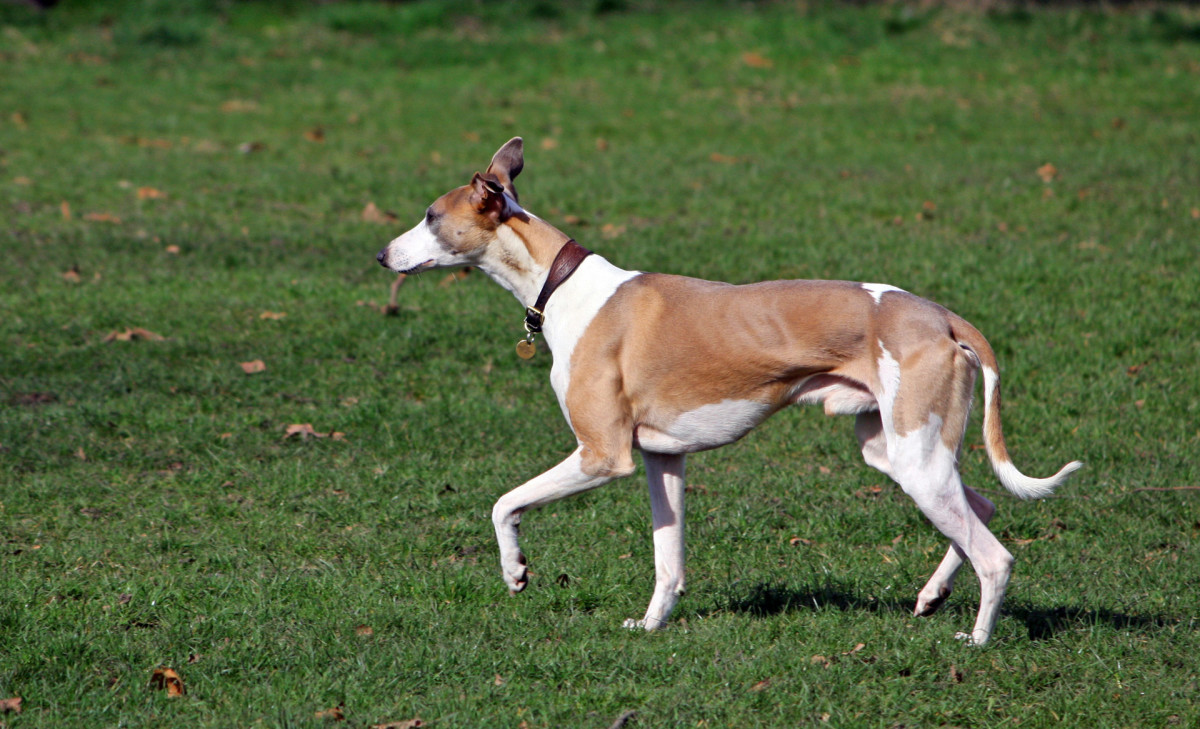 Sight hounds are one of the few breeds where an ideal weight means you can see the last two ribs