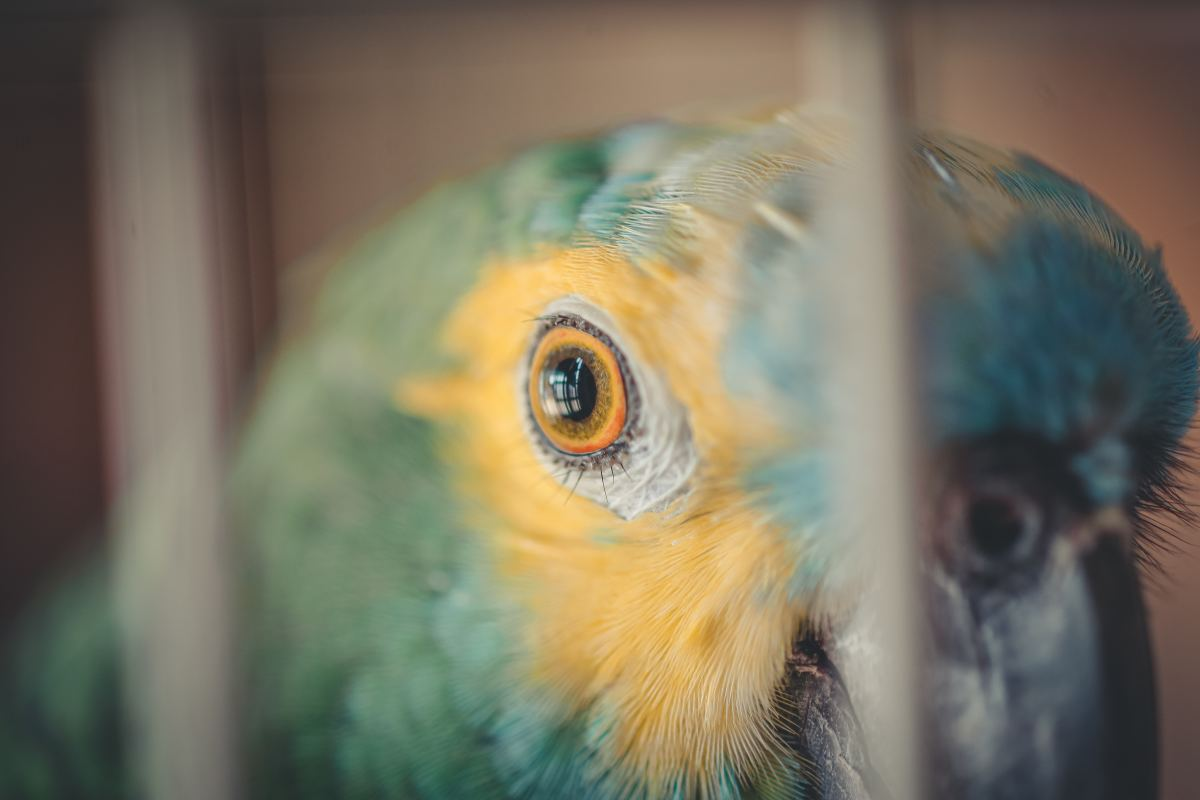 Birds need to be socialized and worked with regularly to keep them tame.