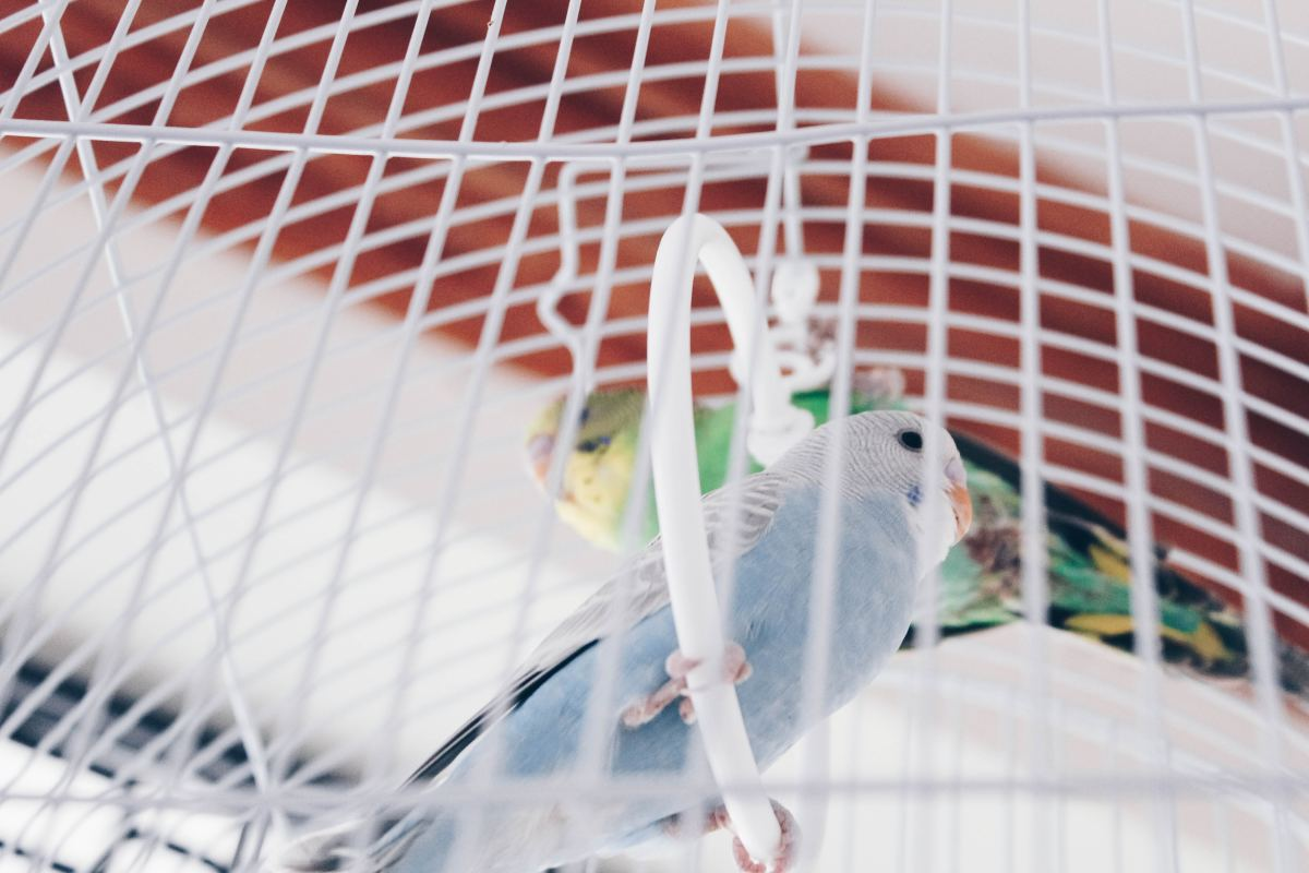 Birds tend to scatter debris outside of their cage.