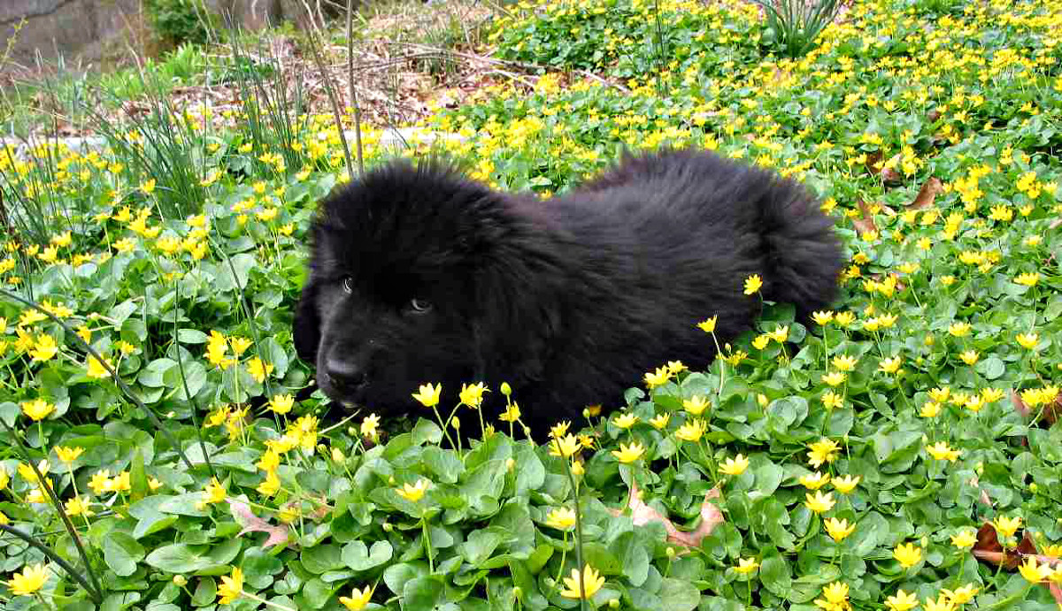 Newfoundlands are extremely gentle.