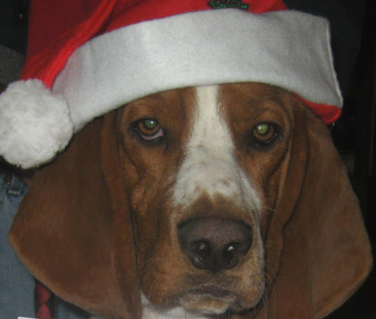 Basset hounds are sweet, non-aggressive dogs.