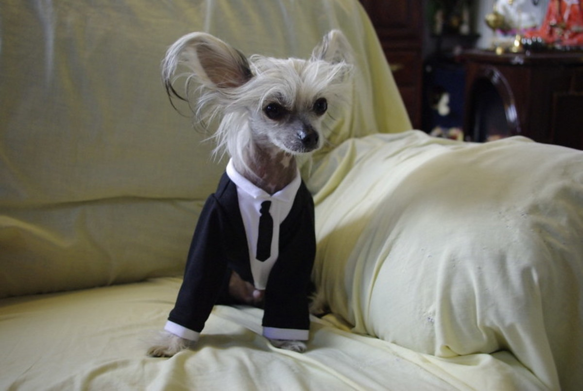 The Chinese Crested does well in apartments and sheds few allergens.