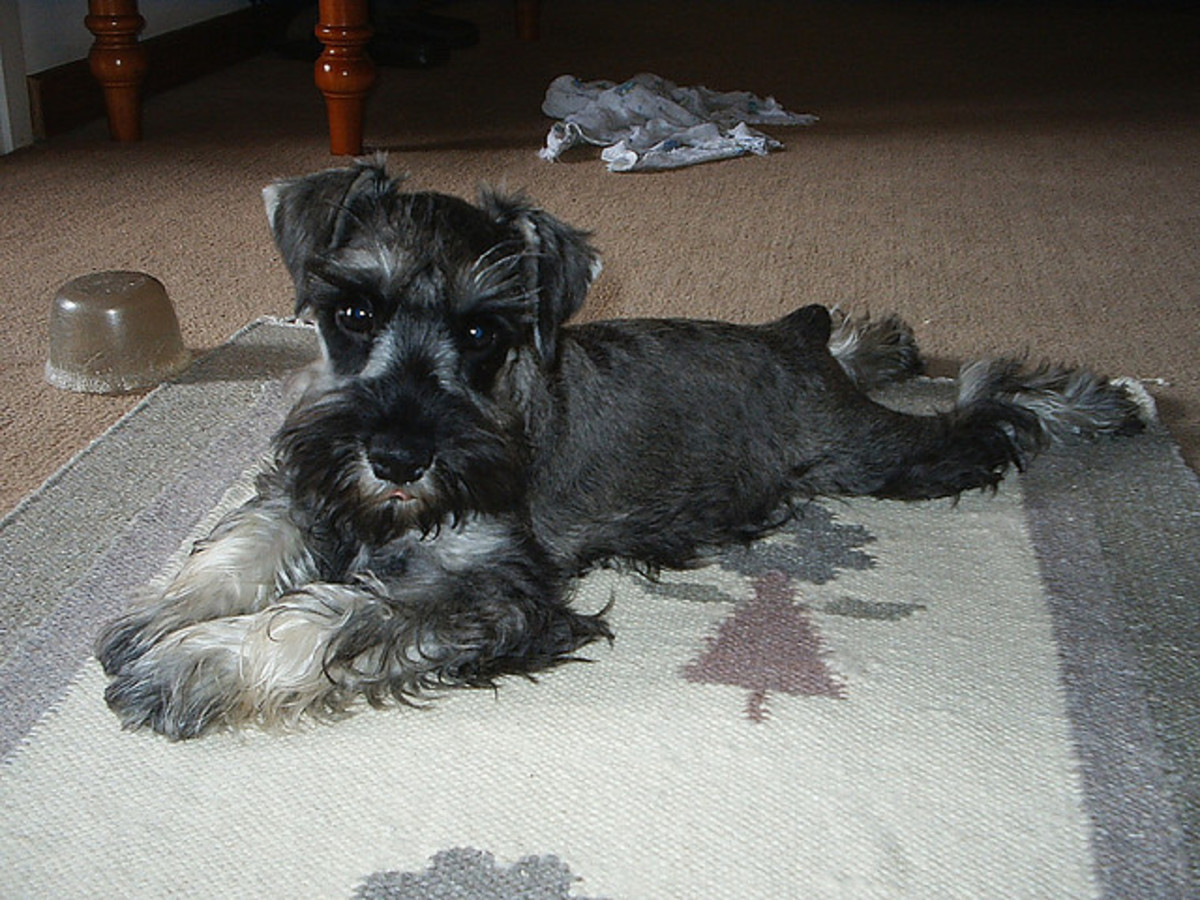 The Miniature Schnauzer is a good apartment dog but does bark a lot.