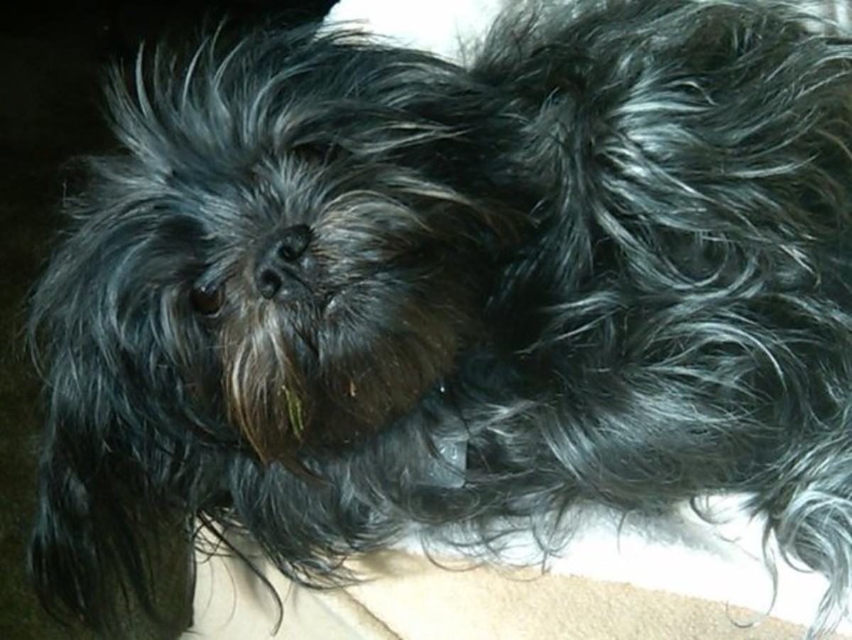 The Affenpinscher is one of the best small apartment dogs that is also hypoallergenic.