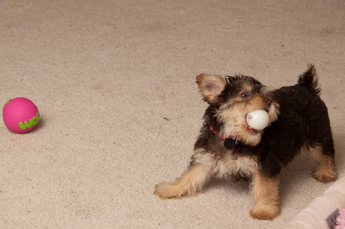 The Yorkie does not shed much but is a barker.