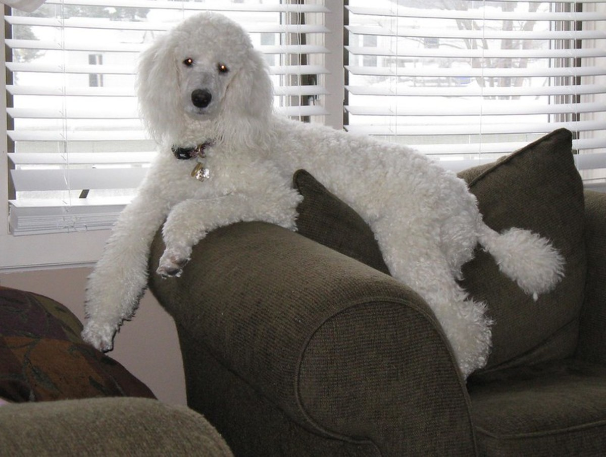 Standard Poodles are great in apartments.