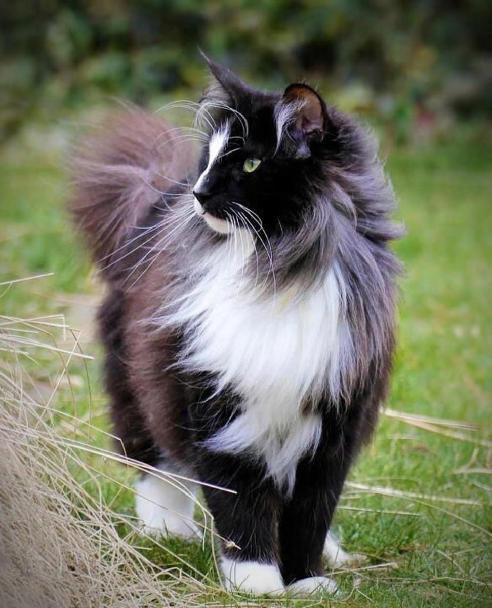 Norwegian Forest Tuxedo Cat