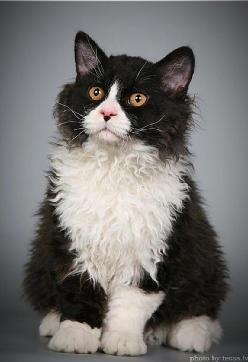 Curly Fur Tuxedo Cat