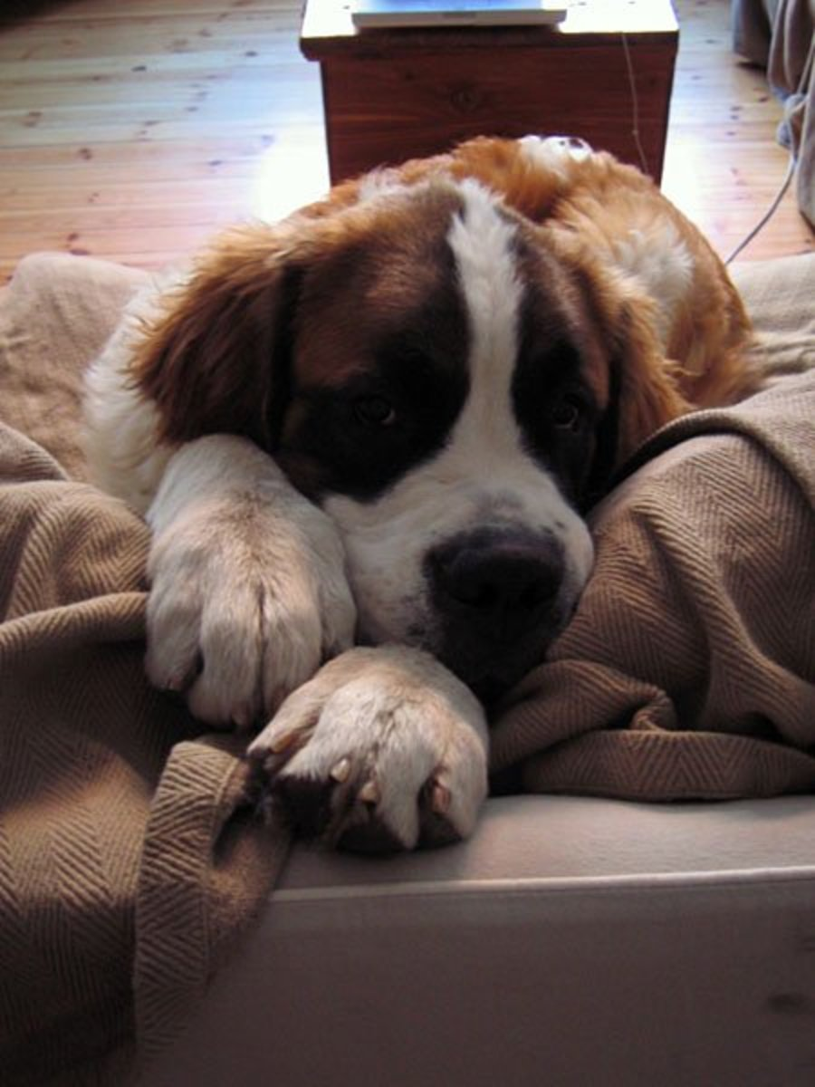 A Saint Bernard benefits from being walked but will probably not ask for it.